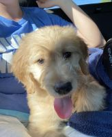 Golden Doodle Puppies for sale in Prospect, CT 06712, USA. price: NA