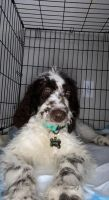 Golden Doodle Puppies for sale in Norcross, GA, USA. price: NA