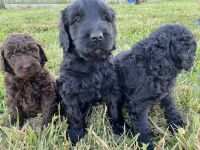 Golden Doodle Puppies for sale in Lenoir City, TN, USA. price: NA