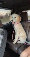 Golden Doodle Puppies for sale in Jacksboro, TX 76458, USA. price: NA