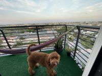 Golden Doodle Puppies for sale in Doral, FL, USA. price: NA
