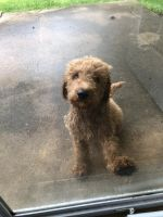 Golden Doodle Puppies for sale in Tallmadge, OH, USA. price: NA