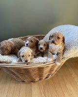 Golden Doodle Puppies for sale in USAA Blvd, San Antonio, TX, USA. price: NA