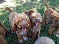 Golden Doodle Puppies for sale in Willard, UT 84340, USA. price: NA
