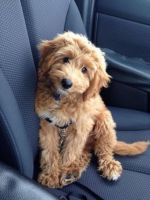 Golden Doodle Puppies for sale in San Antonio, TX, USA. price: NA