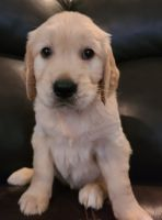Golden Retriever Puppies for sale in Las Vegas, NV, USA. price: NA