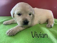 Golden Retriever Puppies for sale in Kansas City, MO, USA. price: NA