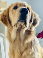 Golden Retriever Puppies for sale in Albany, NY, USA. price: NA