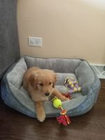 Golden Retriever Puppies for sale in Chicago, IL, USA. price: NA