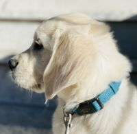 Golden Retriever Puppies for sale in San Francisco, CA, USA. price: NA
