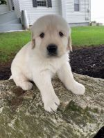 Golden Retriever Puppies for sale in Midland Park, NJ 07432, USA. price: NA