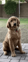 Golden Retriever Puppies for sale in Peoria, AZ, USA. price: NA