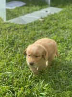 Golden Retriever Puppies for sale in Doral, FL, USA. price: NA
