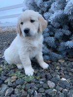 Golden Retriever Puppies for sale in Kuna, ID 83634, USA. price: NA