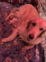 Golden Retriever Puppies for sale in Harrison, TN 37341, USA. price: NA