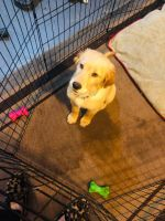Golden Retriever Puppies for sale in Elmwood Park, NJ, USA. price: NA