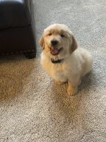 Golden Retriever Puppies for sale in Streetsboro, OH, USA. price: NA