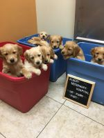 Golden Retriever Puppies for sale in Gilbert, AZ, USA. price: NA