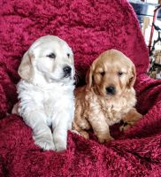Golden Retriever Puppies for sale in Penn Yan, NY 14527, USA. price: NA