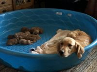 Golden Retriever Puppies for sale in Franklin, TN, USA. price: NA