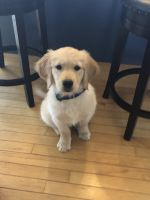 Golden Retriever Puppies for sale in Milford, OH, USA. price: NA