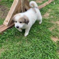 Golden Retriever Puppies for sale in San Jose, CA, USA. price: NA