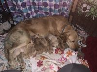 Golden Retriever Puppies for sale in Edinburgh, IN 46124, USA. price: NA