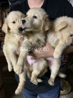 Golden Retriever Puppies for sale in Redlands, CA, USA. price: NA