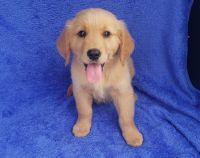 Golden Retriever Puppies for sale in Orlando, FL, USA. price: NA