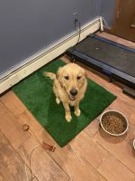 Golden Retriever Puppies for sale in 74 Heritage Dr, Waterbury, CT 06708, USA. price: NA
