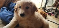 Golden Retriever Puppies for sale in Maricopa, CA 93252, USA. price: NA