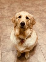 Golden Retriever Puppies for sale in Braselton, GA, USA. price: NA