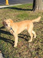 Golden Retriever Puppies for sale in Bellmawr, NJ 08031, USA. price: NA