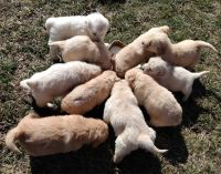 Golden Retriever Puppies for sale in Schell City, MO 64783, USA. price: NA