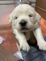 Golden Retriever Puppies for sale in 444 N 3rd St, Terre Haute, IN 47807, USA. price: NA