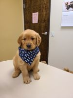 Golden Retriever Puppies for sale in 6006 Bear Canyon, San Antonio, TX 78252, USA. price: NA