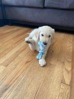 Golden Retriever Puppies Photos