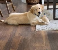 Golden Retriever Puppies for sale in Dunedin, FL 34698, USA. price: NA