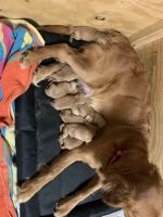 Golden Retriever Puppies for sale in Dallas, TX, USA. price: NA