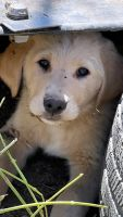 Golden Retriever Puppies for sale in Medford, OR, USA. price: NA