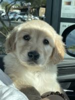 Golden Retriever Puppies for sale in Tempe, AZ, USA. price: NA