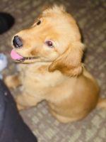 Golden Retriever Puppies for sale in Hazleton, PA, USA. price: NA
