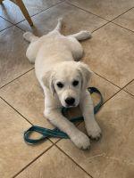 Golden Retriever Puppies for sale in Pensacola, FL, USA. price: NA