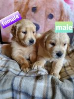 Golden Retriever Puppies for sale in Fontana, CA, USA. price: NA