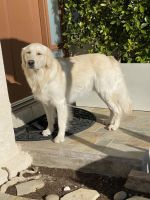 Golden Retriever Puppies for sale in Burbank, CA, USA. price: NA