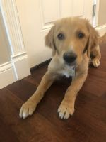 Golden Retriever Puppies for sale in St Peters, MO, USA. price: NA