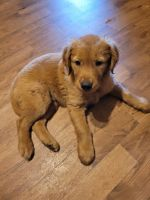 Golden Retriever Puppies for sale in Griffin, GA, USA. price: NA