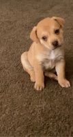 Golden Retriever Puppies for sale in Tucson, AZ, USA. price: NA