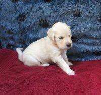 Golden Retriever Puppies for sale in Mechanicsville, MD 20659, USA. price: NA