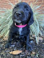 Golden Retriever Puppies for sale in Fort Rucker, AL, USA. price: NA